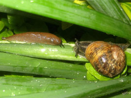 How to Control Slugs & Snails