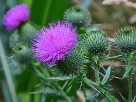 How to Control Thistle