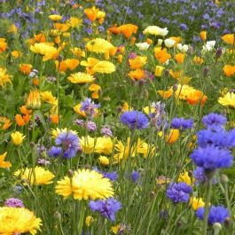 Amvista Buckingham Blooms Pure Wildflower Mix 100%