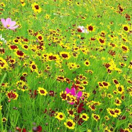 Amvista Kew Butterfly Pure Wildflower Mix 100%