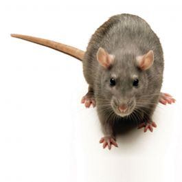 RODENT CONTROL CERTIFICATE INDUSTRIAL & PUBLIC – E-LEARNING