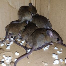 RODENT CONTROL CERTIFICATE FARMS & EQUESTRIAN – E-LEARNING