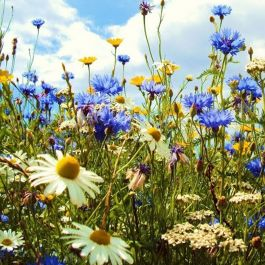 Amvista Sandringham Summer Pure Wildflower Mix 100%