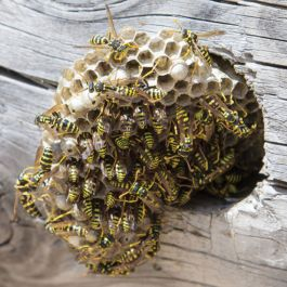 PROFESSIONAL WASP AND BEE CONTROL – E-LEARNING