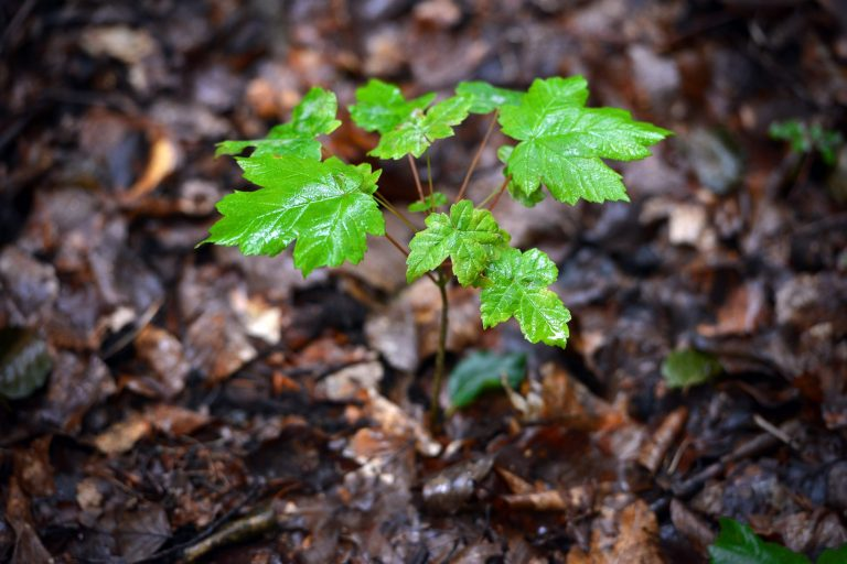 Sycamore Seedlings/Saplings By Problem Page