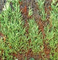 Conifer Mite Control