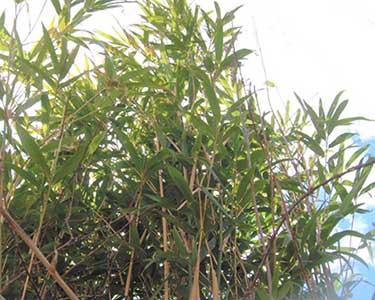 Bamboo Control